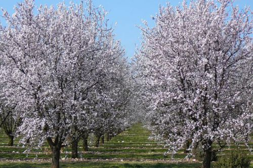 Nature: the almond of the country of Valensole resumes root