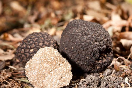 The truffle tradition in the Ventoux, Verdon and Luberon regions