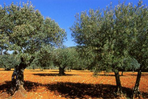 Nature: The secrets of the olive in Provence