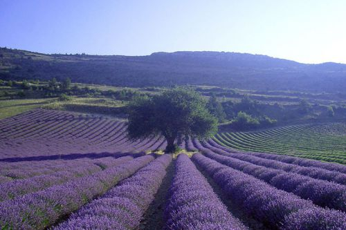 Discovery of lavender in the Luberon